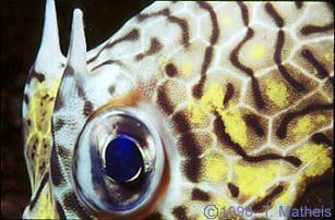 Cowfish Eye, St. Vincent