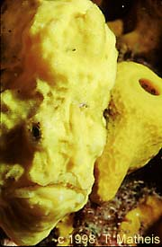 Yellow Longlure Frogfish, St. Vincent